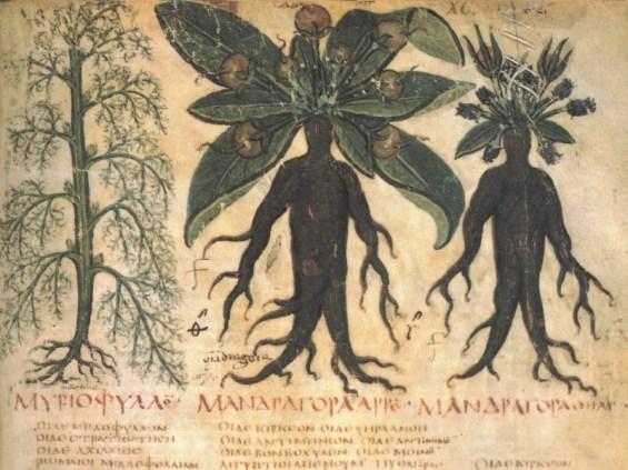 mandragore-plante-sorcière-alsagarden-1
