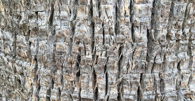 ecorce-arbre-palmier.jpg