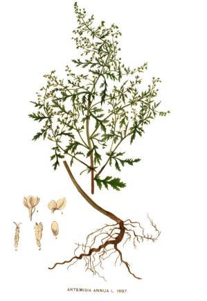 Artemisia_annua_-_001x
